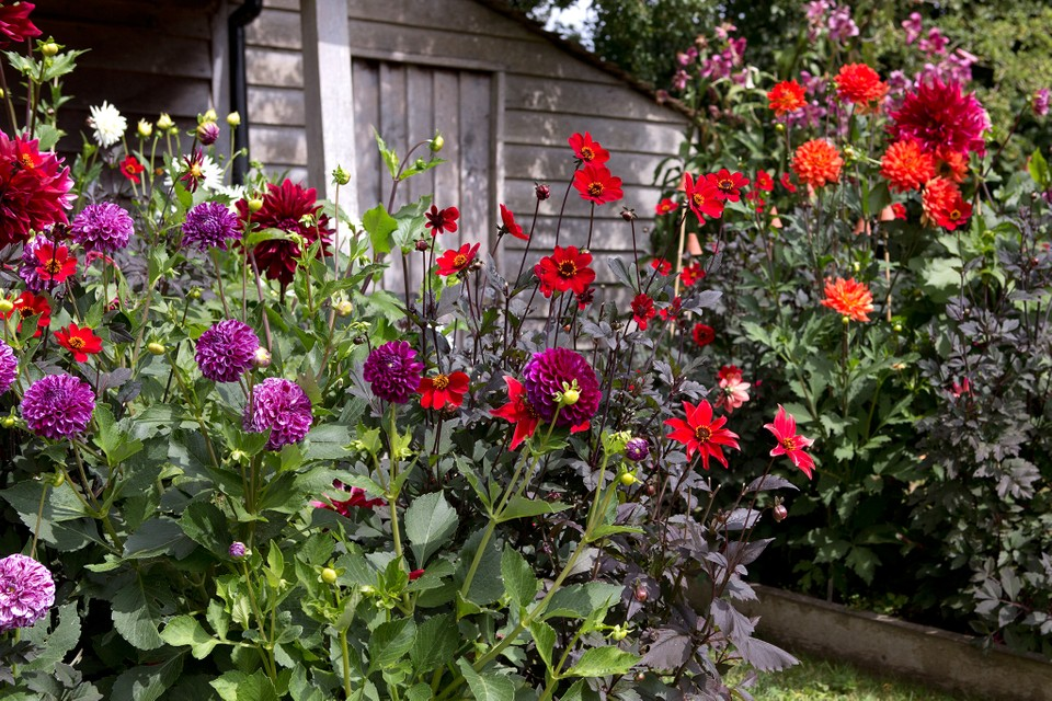 What To Grow With Dahlias Bbc Gardeners World Magazine