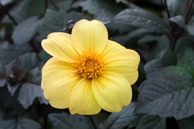 Dahlia 'Yellow Hammer'
