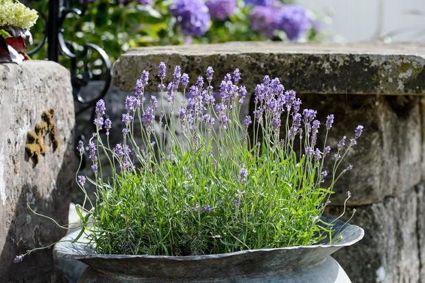 Lavender growing in a large metal urn