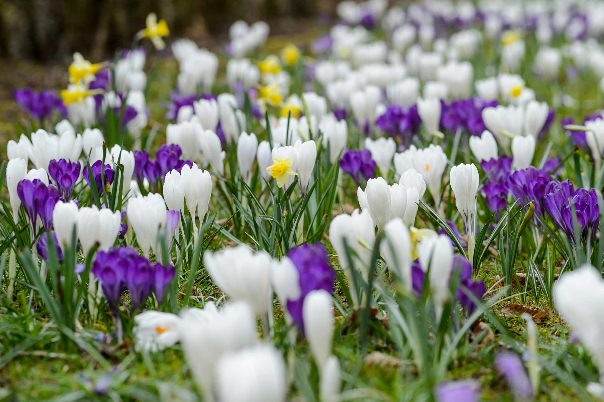 Naturalised crocus bulbs in a lawn