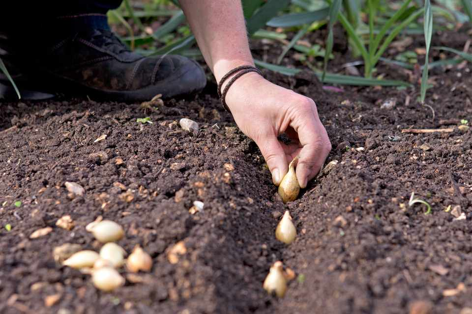 How to plant onion sets - planting the sets in a drill