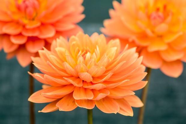 Waterlily Dahlia 'Gwyneth'