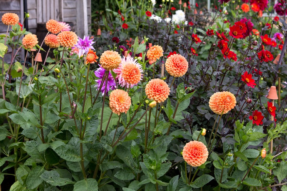Dahlias - Flowers That You Can Easily Grow In Your Backyard
