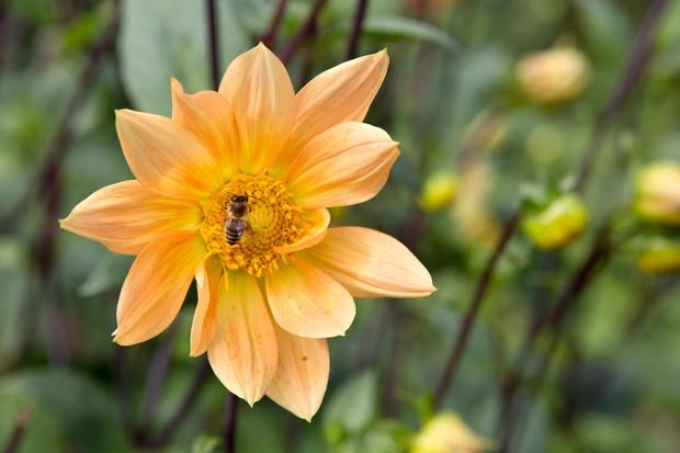 Waterlily dahlia 'Peach Brandy'