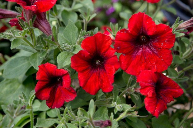 Petunia 'Bingo Red' flowers
