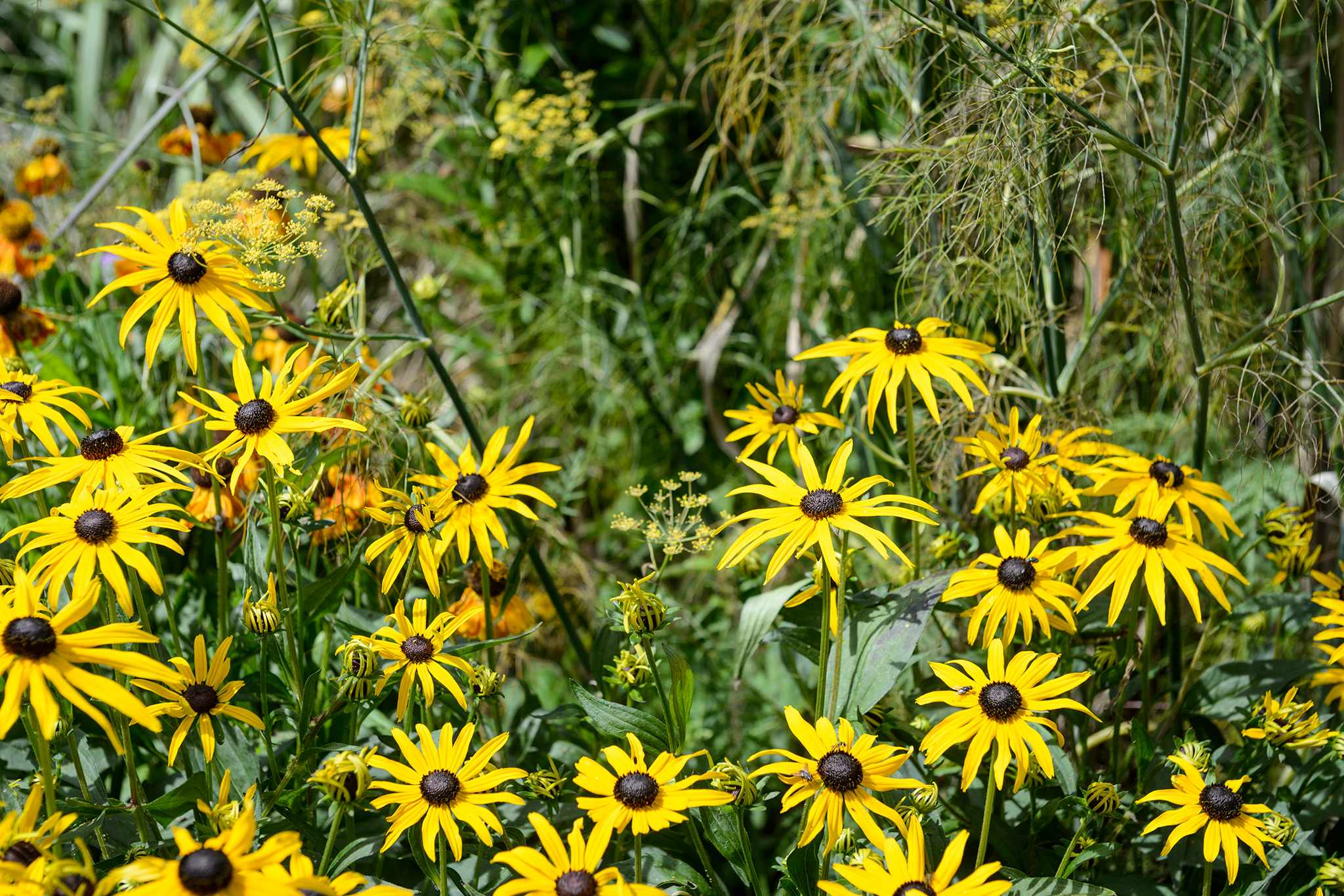 Close up Rudbeckia fulgida var sullivantii Goldsturm and Fennel in the Grass Borders 100817 10082017 10/08/17 10/08/2017 10 10th August 2017 Summer Monty Don Longmeadow photographer Jason Ingram horizontal