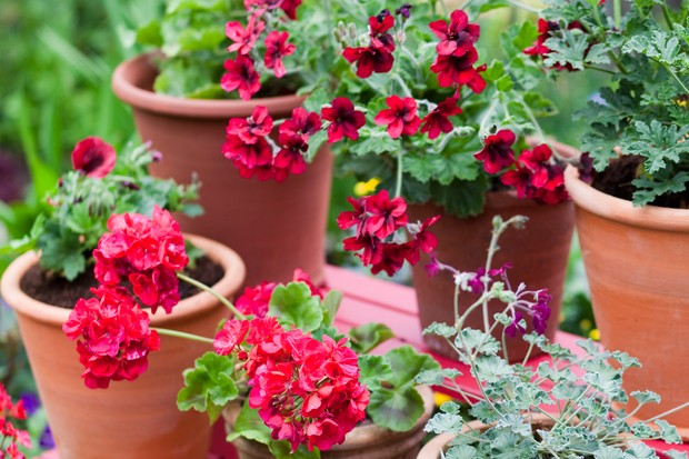 Stand of pelargoniums