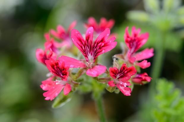 Pelargonium 'Odorata Hazelnut'