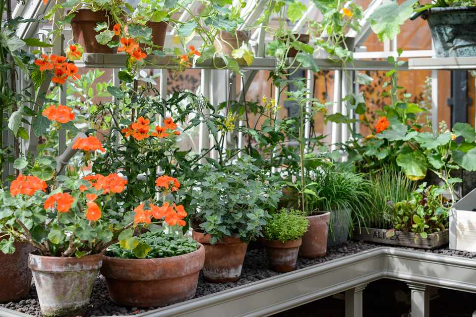 Houseplants for windowsills - pelargoniums
