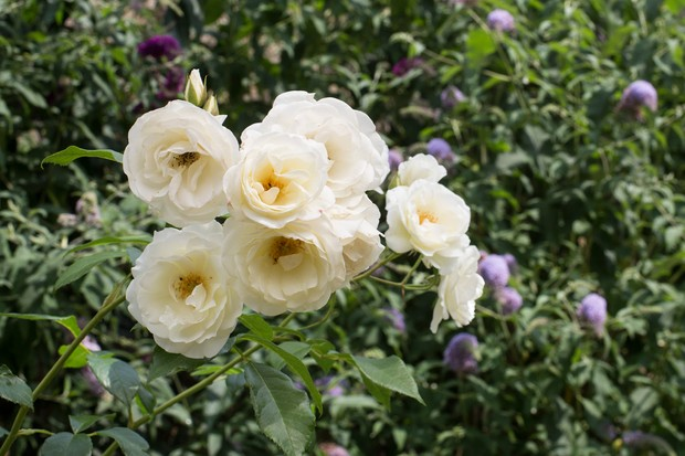 Guide To Growing Roses In Pots Bbc Gardeners World Magazine