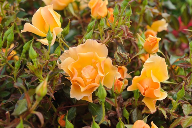 Rosa 'County of Staffordshire'