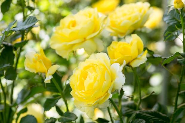 Rosa 'Mountbatten'
