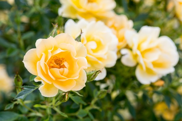 Rosa 'Gold Spice'