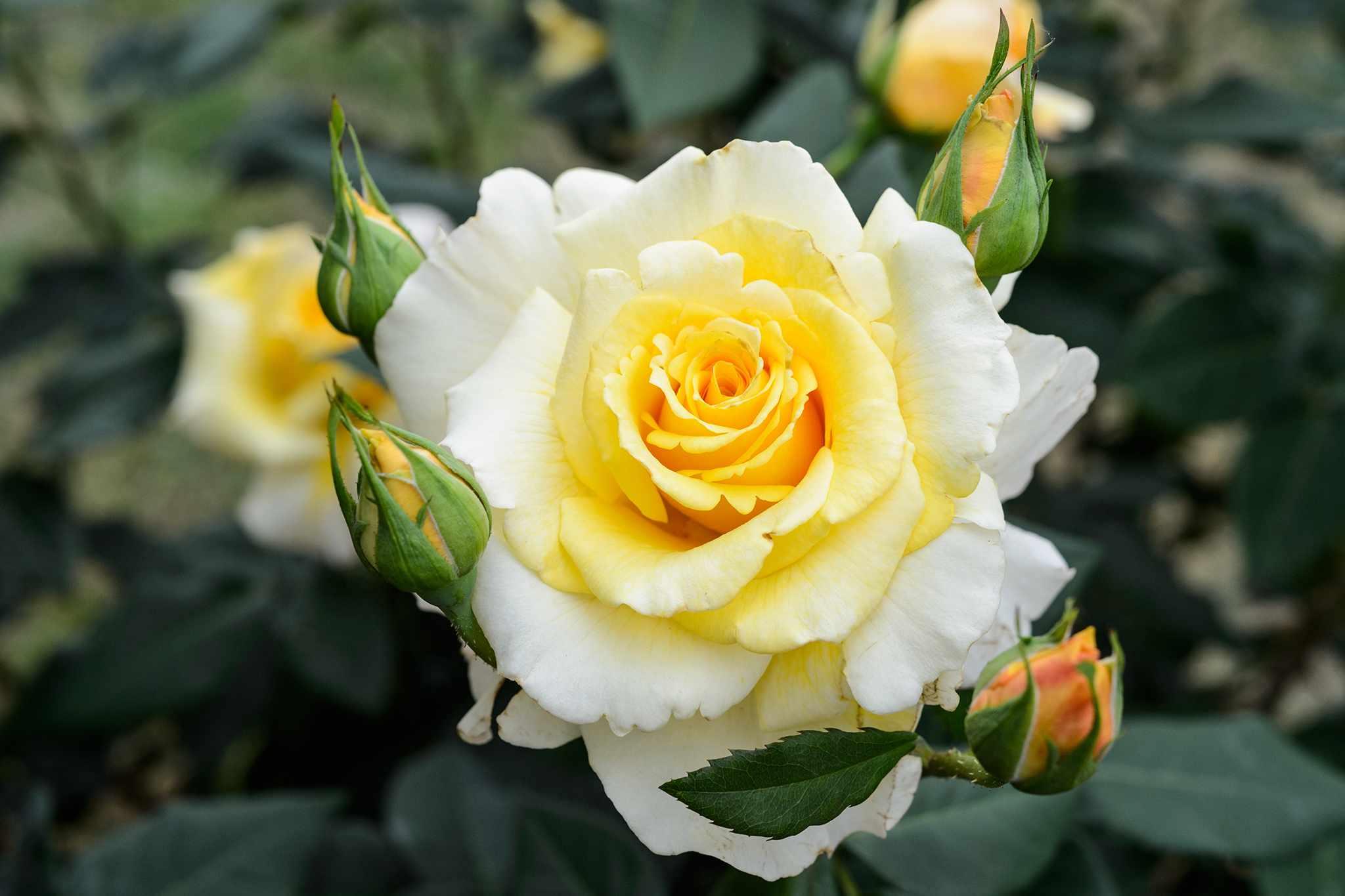 Rosa 'Sunny Sky'
