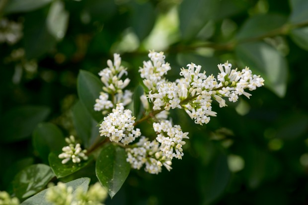 Privet hedge, Ligustrum vulgare