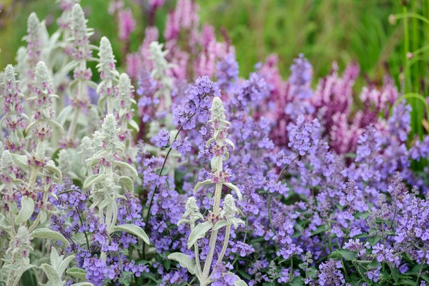 Stachys byzantina with catmint and salvias