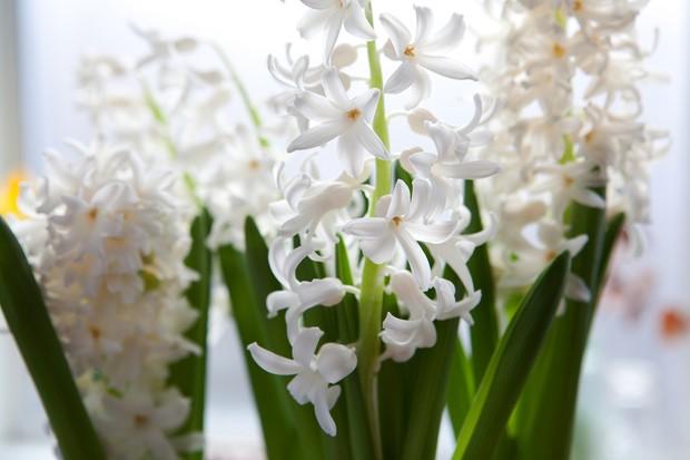 Hyacinthus 'Carnegie'