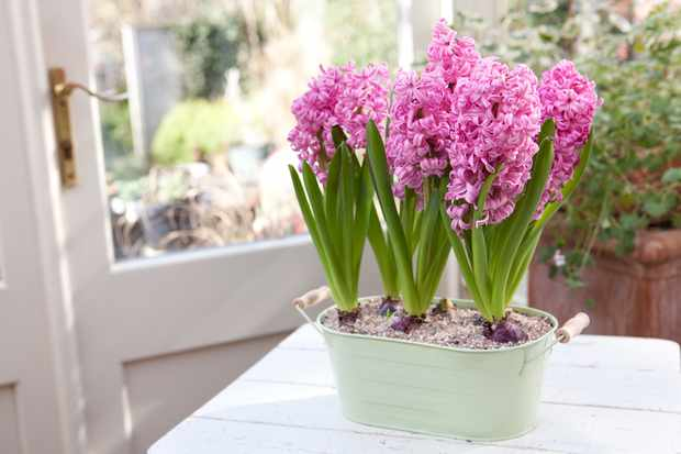 Hyacinths growing indoors in a small container