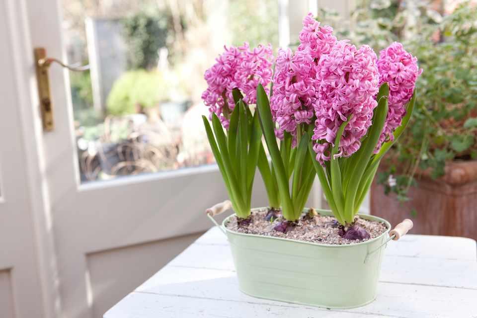 Best hyacinths to grow