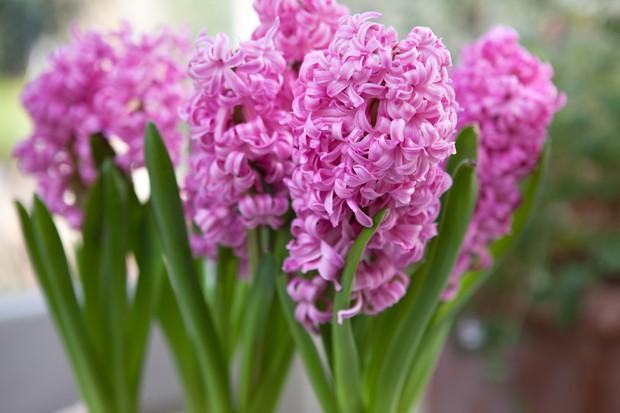 Hyacinthus 'Fondant'
