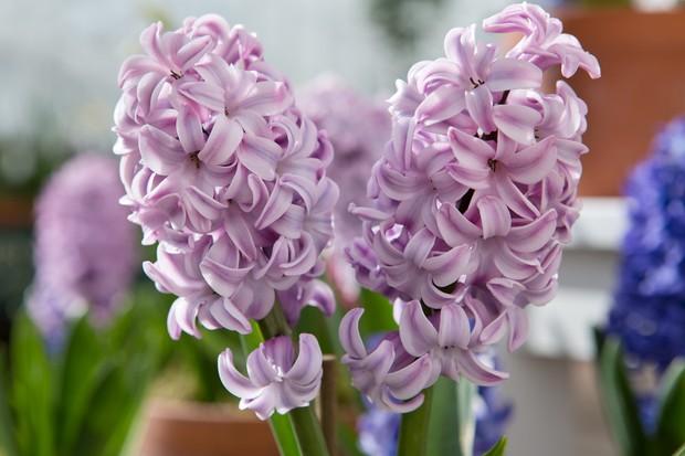 Hyacinthus 'Amethyst'