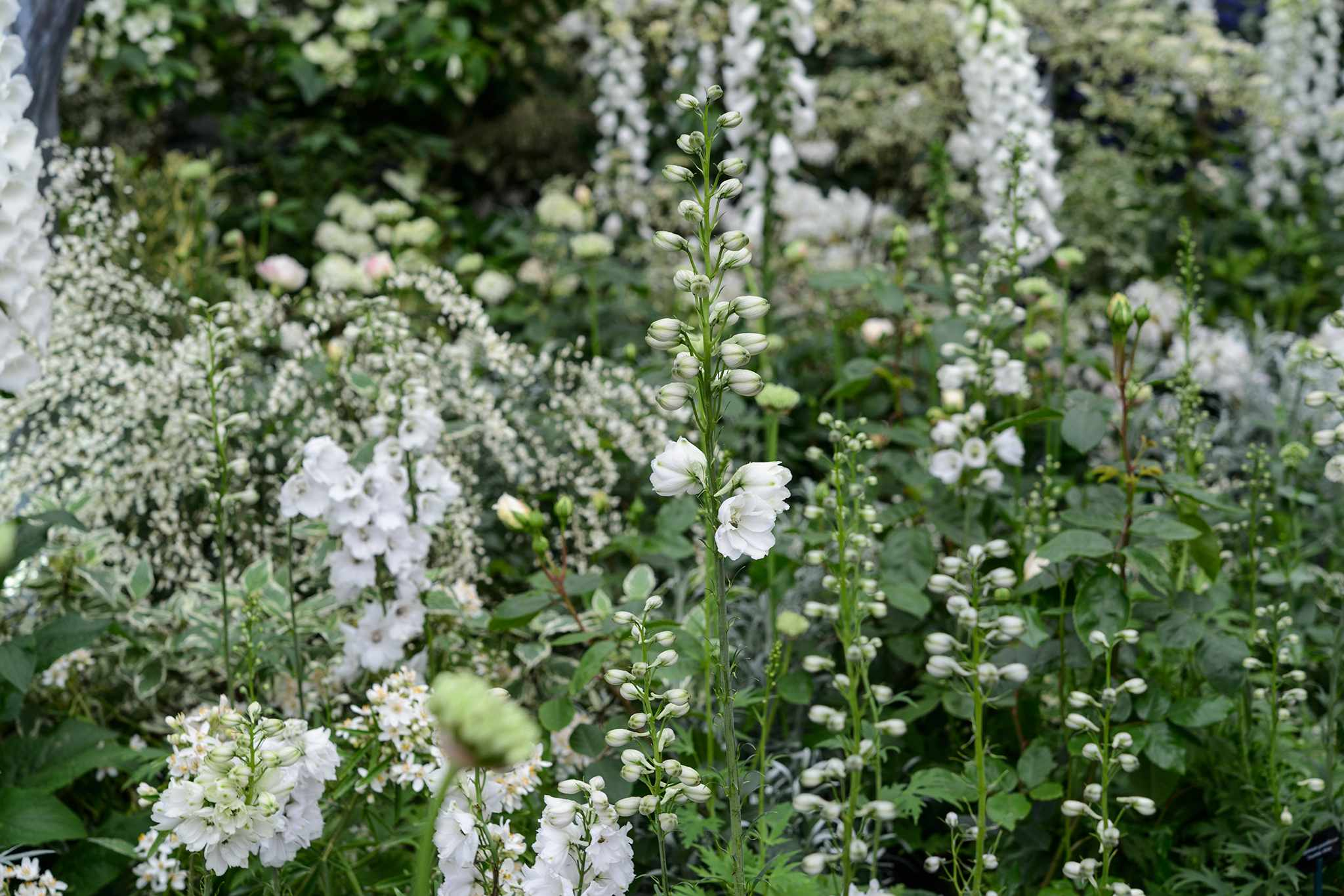 White alliums growing with cytisus and delphiniums
