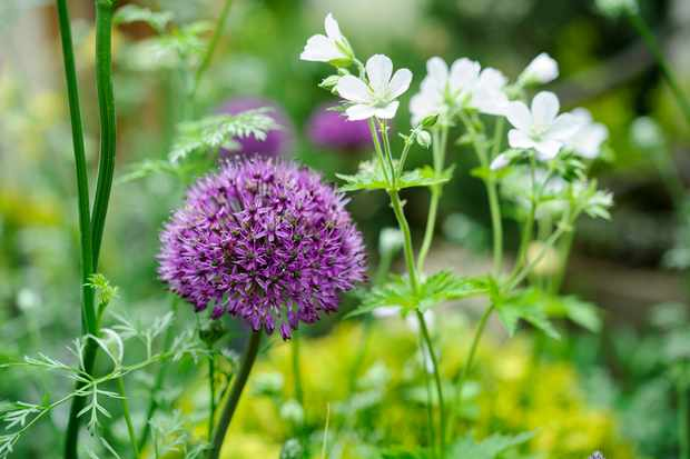 Allium and cranesbill