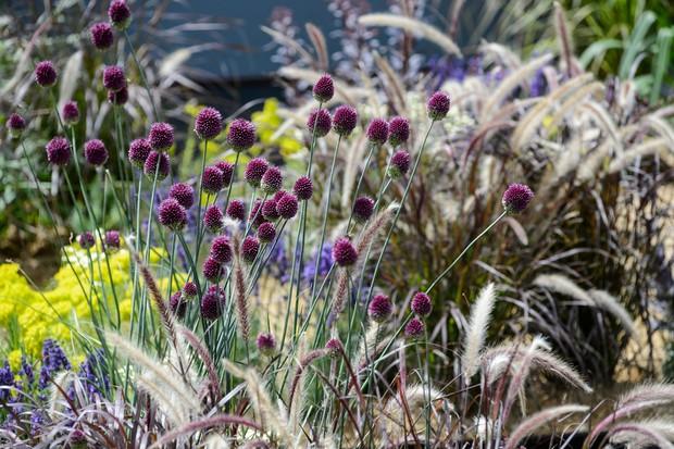 Pennisetum setaceum and Allium sphaerocephalon