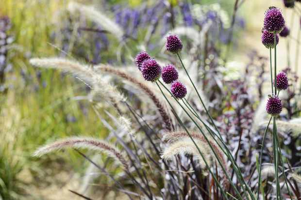 Pennisetum setaceum rubrum and Allium sphaerocephalon growing together