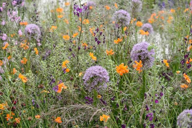 Geum 'Prinses Juliana', Allium 'Purple Sensation', Lychnis flos-cuculi and Verbascum phoeniceum 'Violetta'