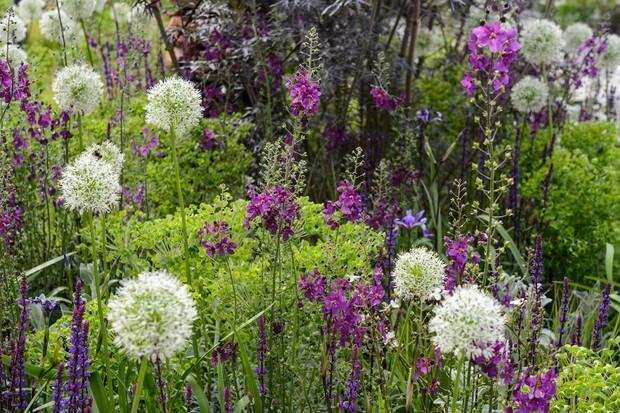 Allium 'Mount Everest' growing with euphorbia, salvia and verbascum