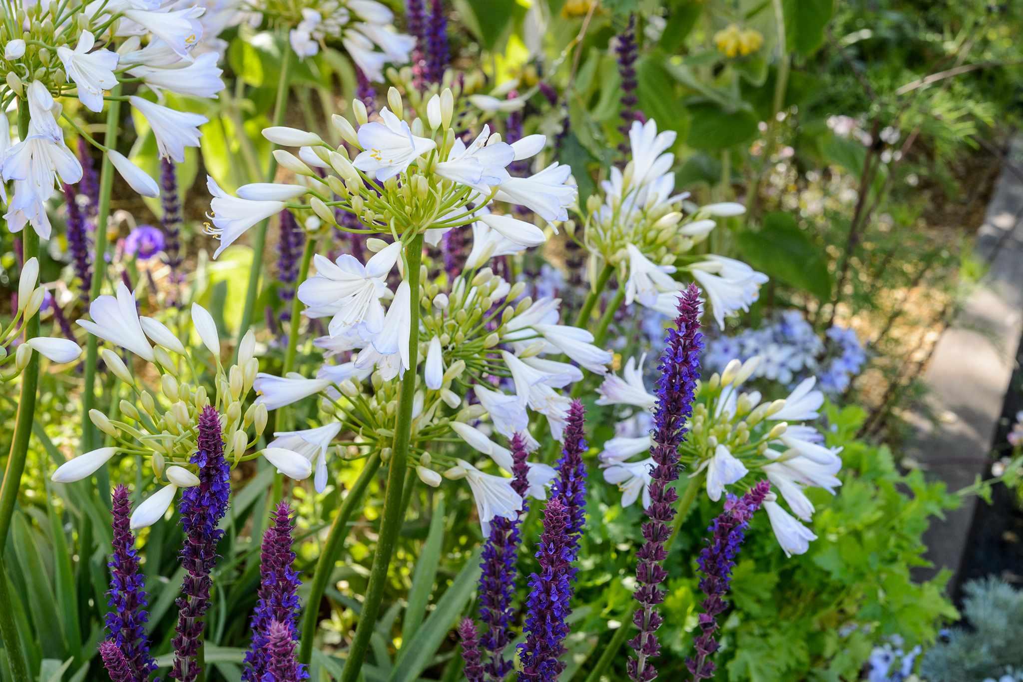 Agapanthus 'Silver Baby' with Salvia nemorosa