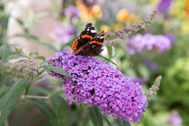 Red admiral butterfly on Buddleja 'Buzz Magenta'