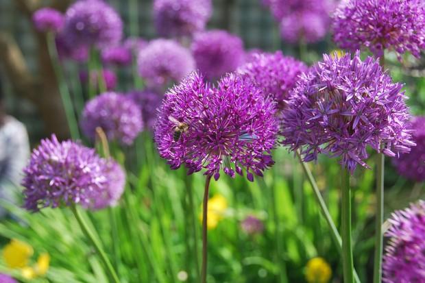 carmel-duignans-garden-alliums-2048-1365