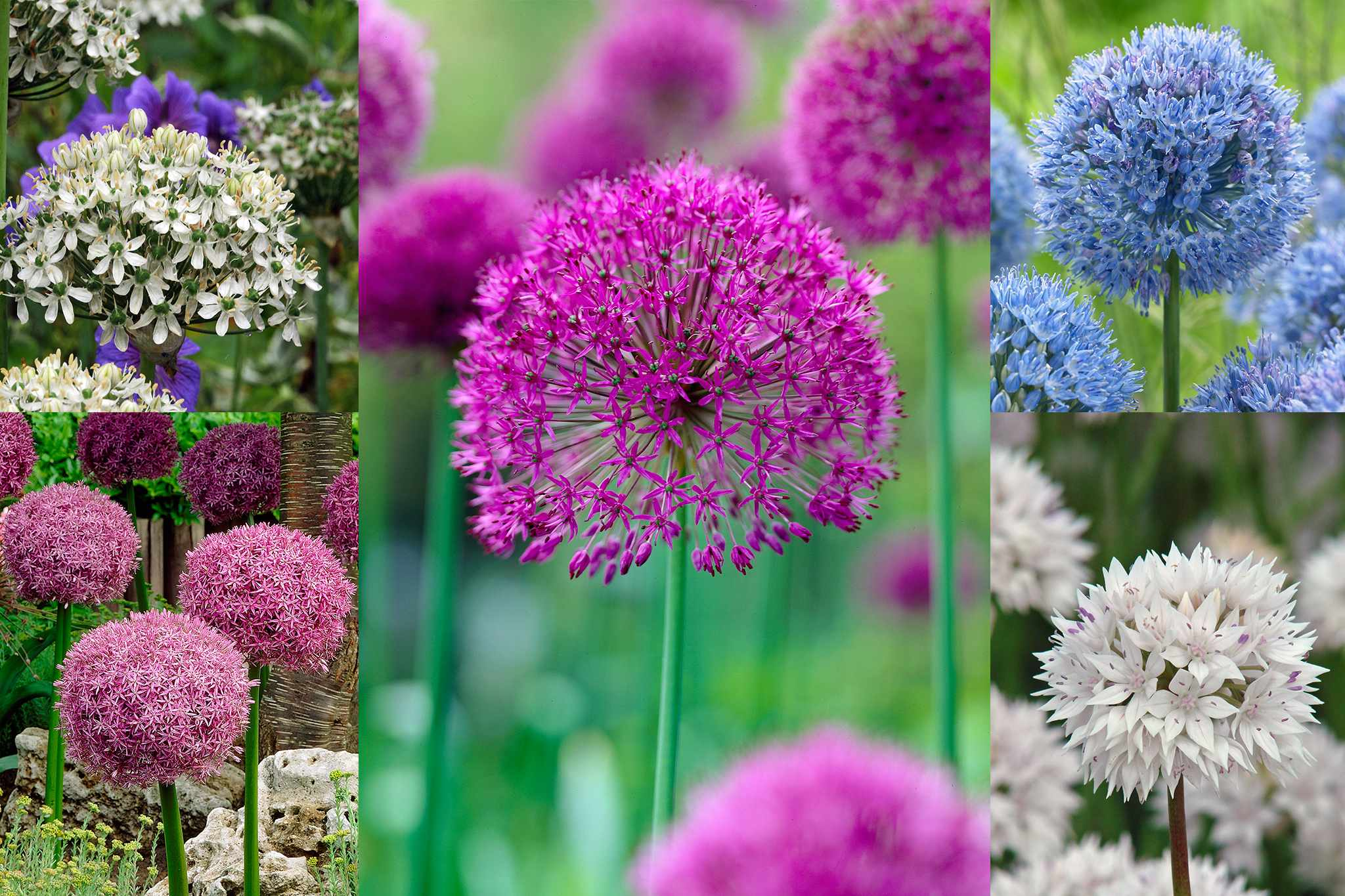 hayloft-alliums