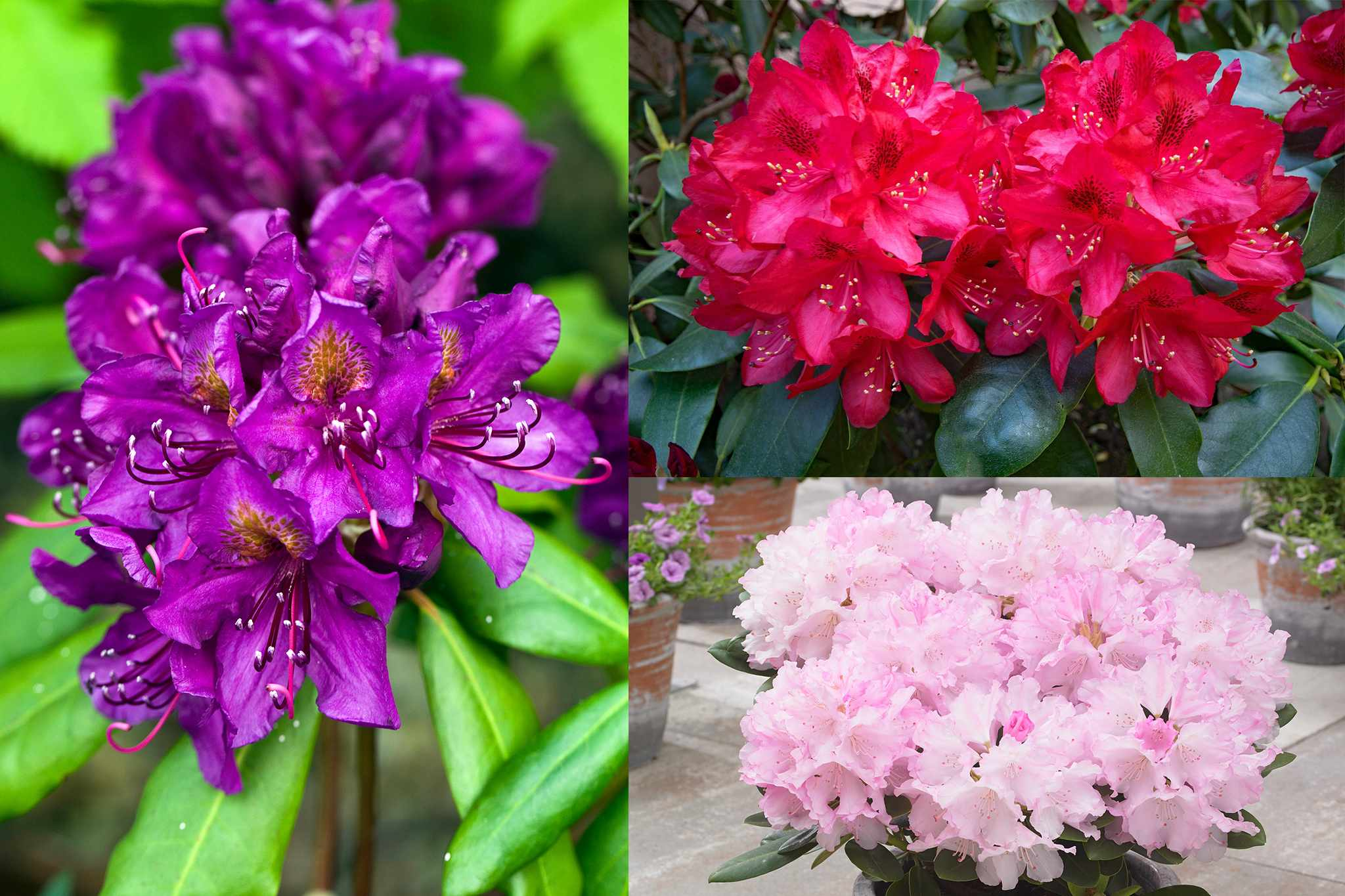 hayloft-save-30-per-cent-rhododendrons