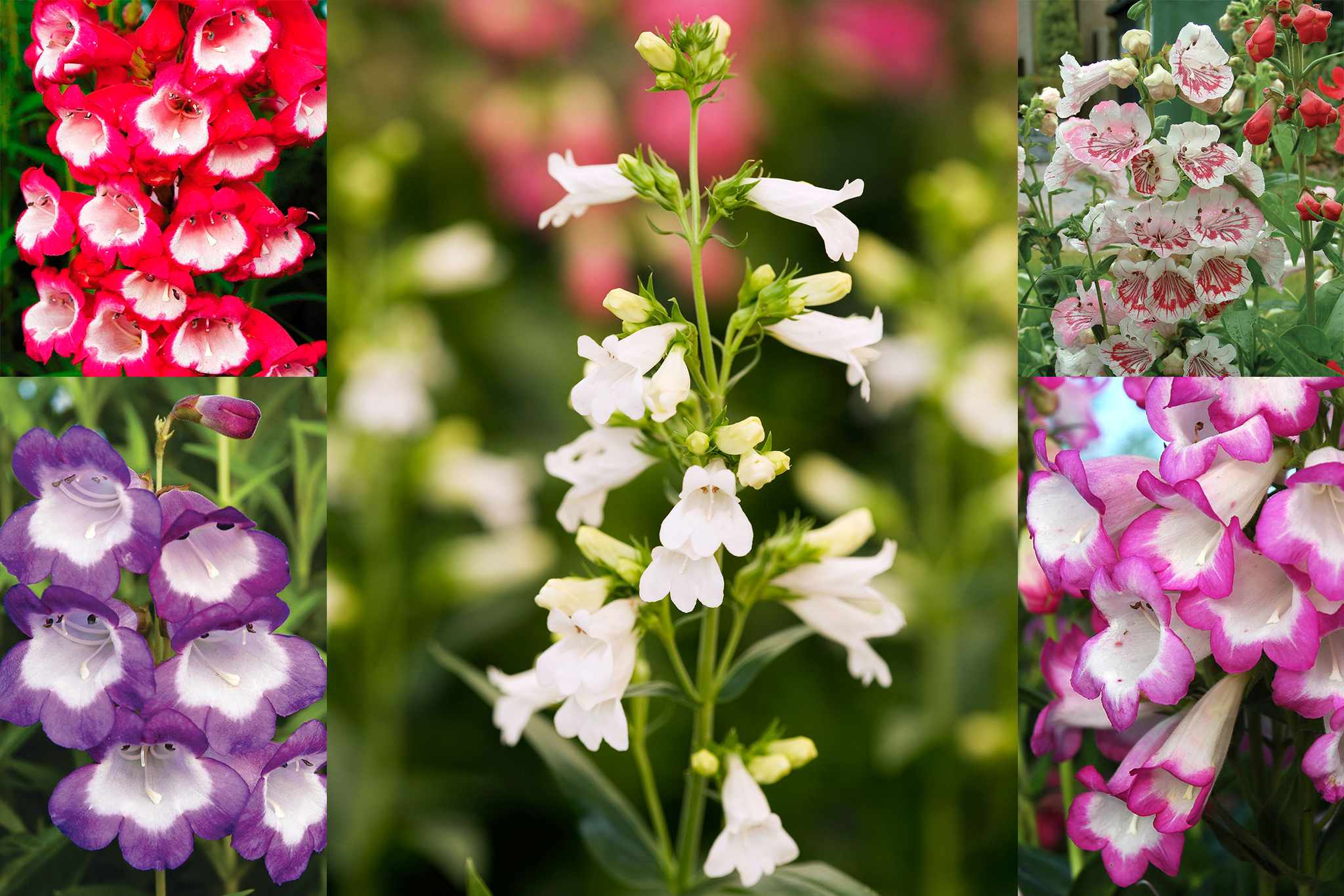 tandm-free-penstemons-collection