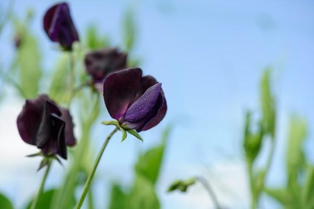 Lathyrus odoratus 'Almost Black'
