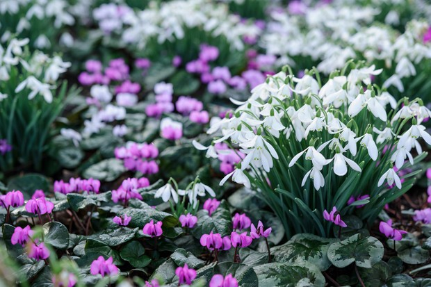 Cyclamen coum growing with snowdrops