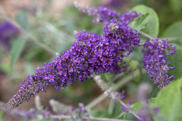 Buddleja flower