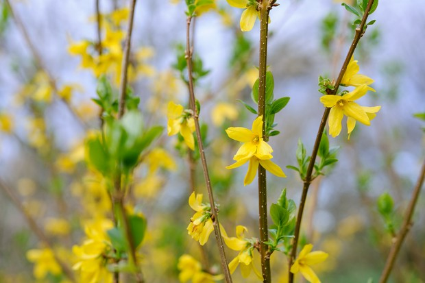 Forsythia x intermedia 'Lynwood Yellow'