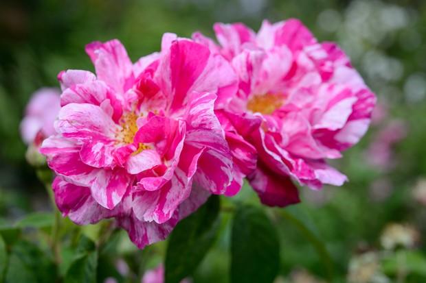 Shrub rose, Rosa mundi