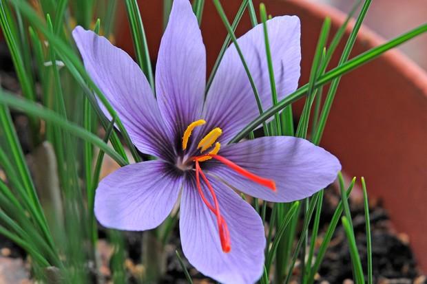 Saffron crocus (Crocus sativus)