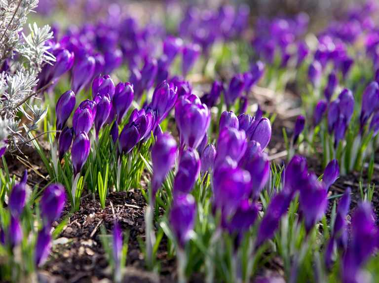 Crocus varieties to grow