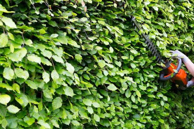 Cutting a beech hedge