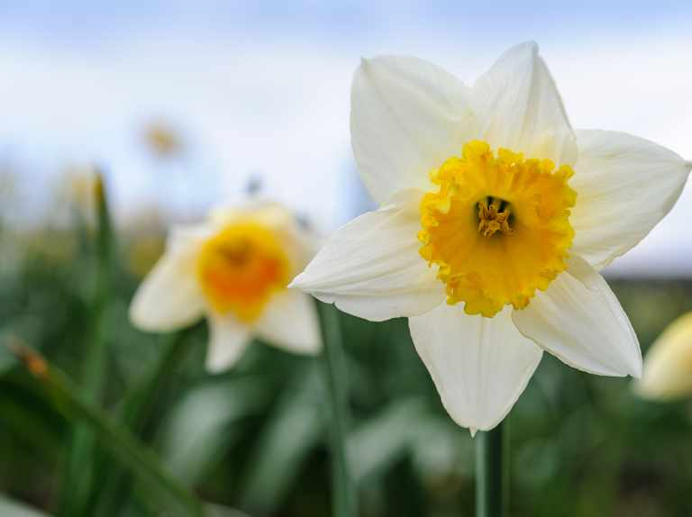 Early-flowering daffodils to grow