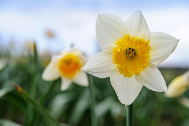 Narcissus 'Early Bride'