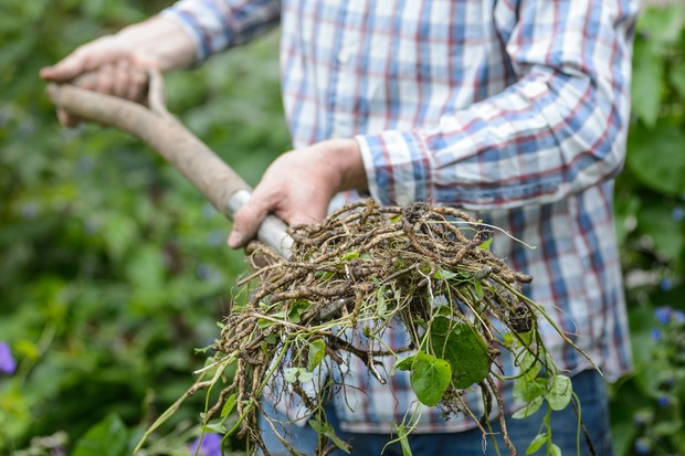 Man pulling out bindweed roots
