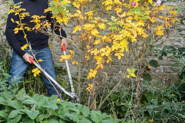 Pruning shrub rose
