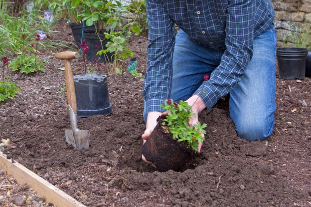 Planting out astrantia plants